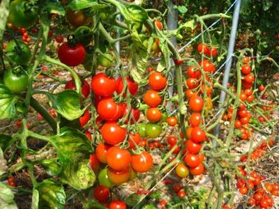 鈴なりのミニトマト