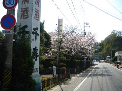 高祖酒造㈱の桜の木