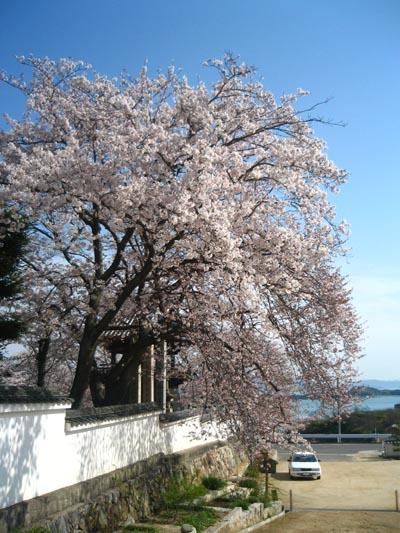 見事な桜です!