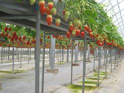 高設棚にイチゴが鈴なりです